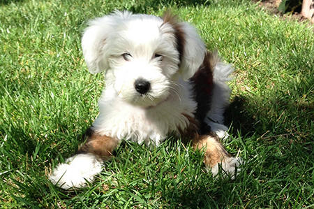 Lula the Tibetan Terrier Pictures 1027116