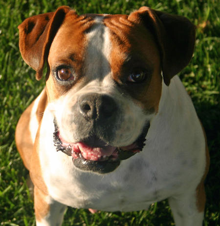 Lulu the Boxer Pictures 817448