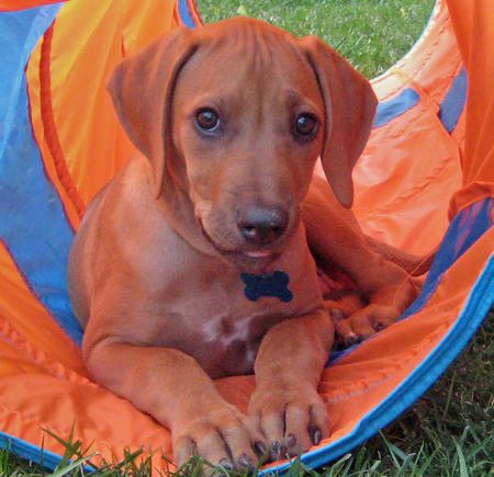 LuLu the Rhodesian Ridgeback Pictures 572946
