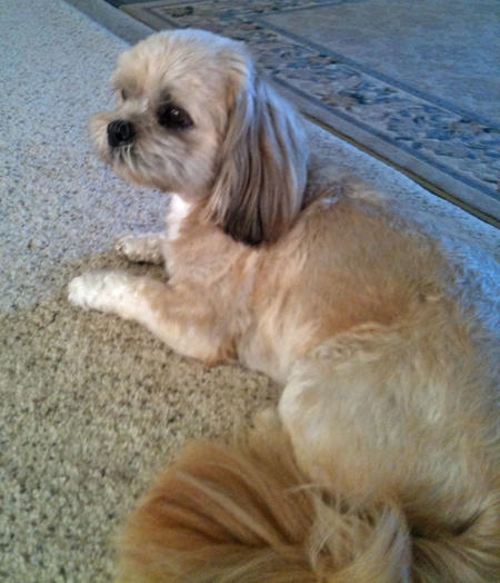 Lulu the Shih Tzu Mix Pictures 959762