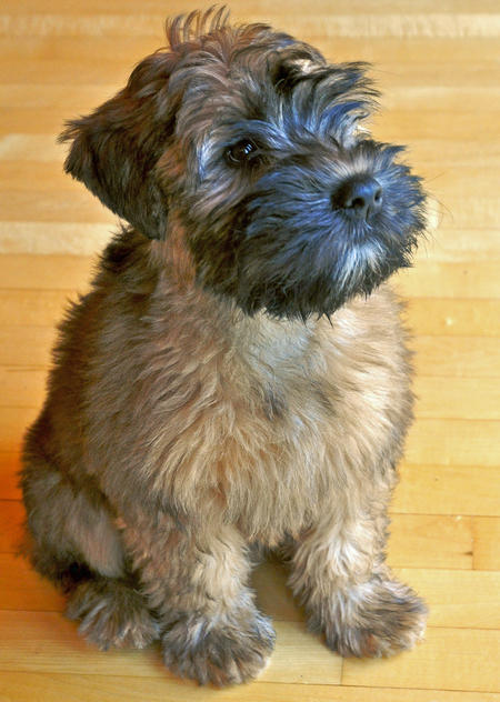 Lulu the Wheaten Terrier Pictures 712903