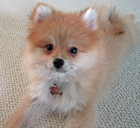 Luna Bear the Pomeranian Pictures 873917