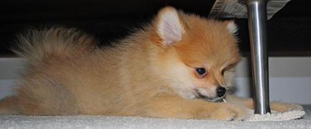 Luna Bear the Pomeranian Pictures 873919