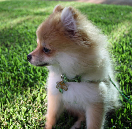 Luna Bear the Pomeranian Pictures 873920