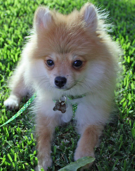 Luna Bear the Pomeranian Pictures 873921