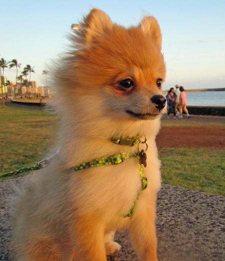 Luna Bear the Pomeranian Pictures 873916