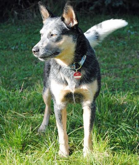 Luna the Australian Cattle Dog Pictures 660852