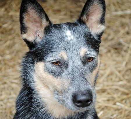 Luna the Australian Cattle Dog Pictures 660853