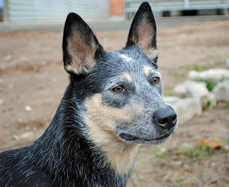Luna the Australian Cattle Dog Pictures 660854