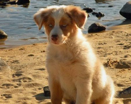 Luna the Australian Shepherd Pictures 468895