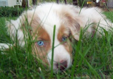 Luna the Australian Shepherd Pictures 468894