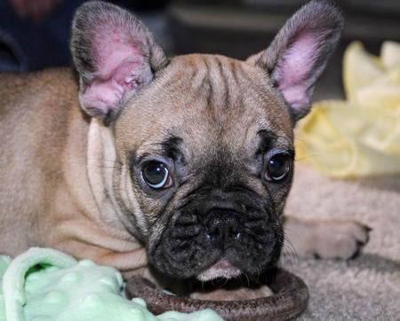 Luna the French Bulldog Pictures 816984