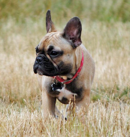 Luna the French Bulldog Pictures 816986