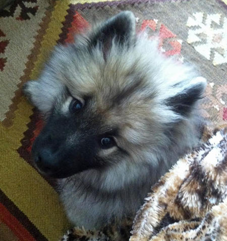 Luna the Keeshond Pictures 982880