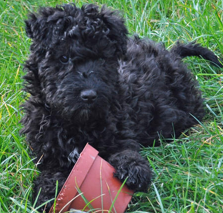 Luna the Kerry Blue Terrier | Puppies | Daily Puppy