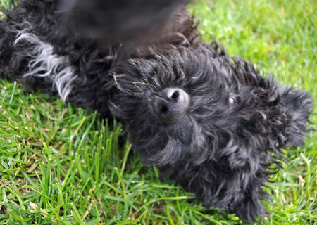 Luna the Kerry Blue Terrier Pictures 893032