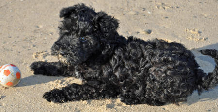 Luna the Kerry Blue Terrier Pictures 1054521