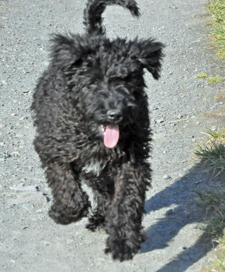 Luna the Kerry Blue Terrier Pictures 893034