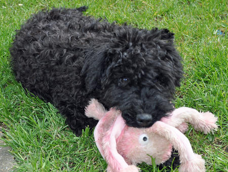 Luna the Kerry Blue Terrier Pictures 893035