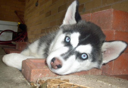 Luna the Siberian Husky Pictures 850148