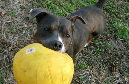 Luna the Staffordshire Bull Terrier Pictures 1032888