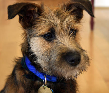 Lunchbox the Border Terrier Mix Pictures 533632