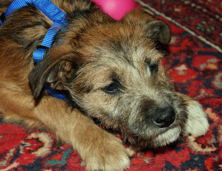 Lunchbox the Border Terrier Mix Pictures 533630