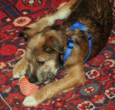Lunchbox the Border Terrier Mix Pictures 533631