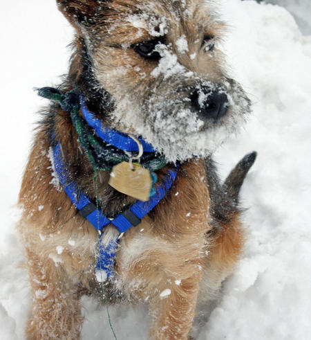 Lunchbox the Border Terrier Mix Pictures 533634