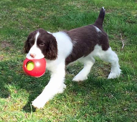 Mabel the English Springer Spaniel Pictures 1014533