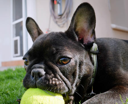 Mabel the French Bulldog Pictures 962924