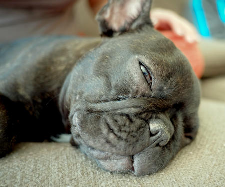Mabel the French Bulldog Pictures 962926