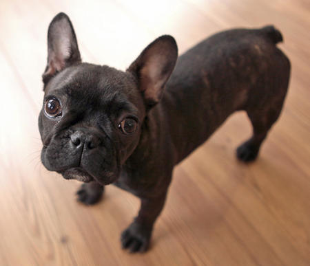 Mabel the French Bulldog Pictures 962921