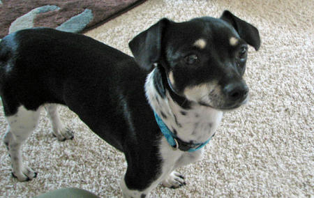 Macy the Dachshund Mix Pictures 883495