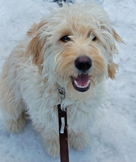 Macy the Goldendoodle Pictures 548282