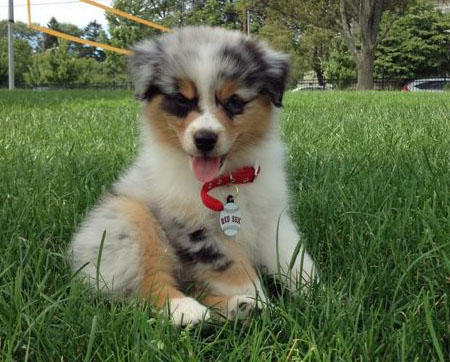 Maddie the Australian Shepherd Pictures 928770