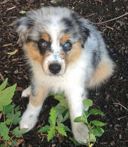 Maddie the Australian Shepherd Pictures 928771