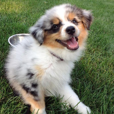 Maddie the Australian Shepherd Pictures 928772