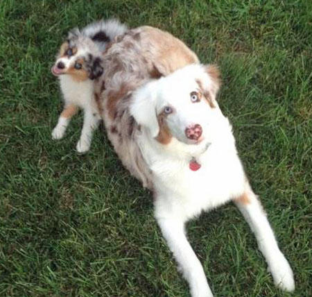 Maddie the Australian Shepherd Pictures 928769