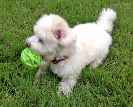 Maddie the Coton de Tulear Pictures 1017057