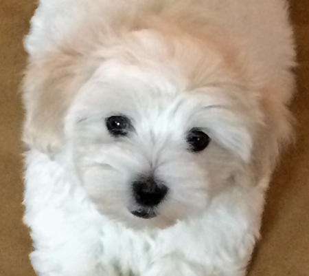 Maddie the Coton de Tulear Pictures 1022550