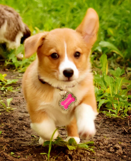 Maddie the Pembroke Welsh Corgi Pictures 1044933