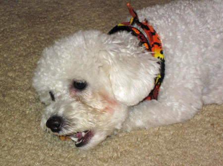 Madeline the Bichon Frise Mix Pictures 983145