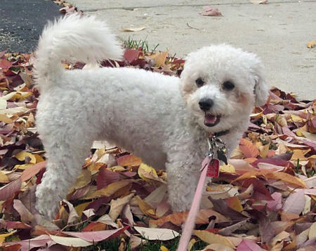 Madeline the Bichon Frise Mix Pictures 983146