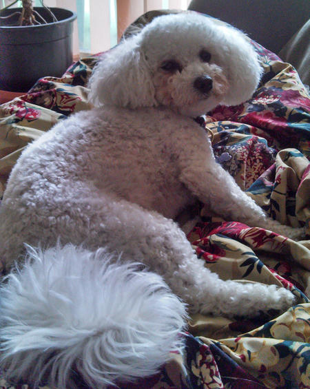 Madeline the Bichon Frise Mix Pictures 983147