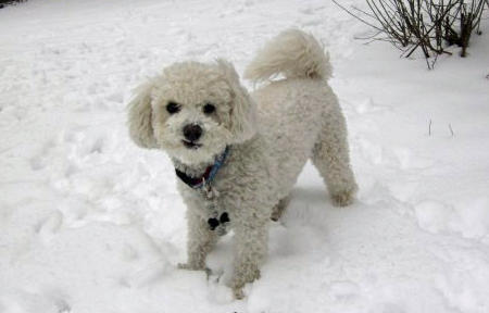 Madeline the Bichon Frise Mix Pictures 983148