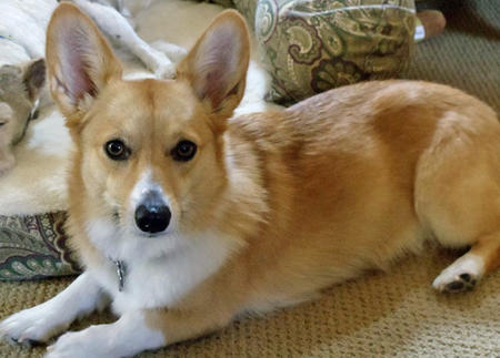 Madeline the Pembroke Welsh Corgi Pictures 1036615