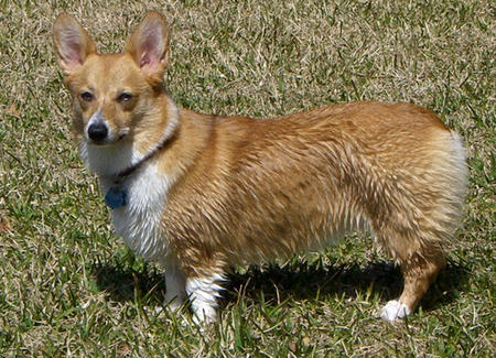 Madeline the Pembroke Welsh Corgi Pictures 1036617