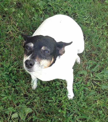 Madison the Rat Terrier Pictures 994031