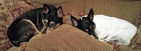 Madison the Rat Terrier Pictures 994033